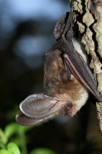 brown-long-eared-bat-on-aspen