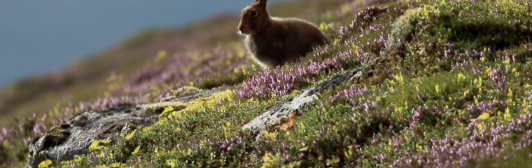 The Scottish Parliament passes a Bill to provide the mountain hare with protected status